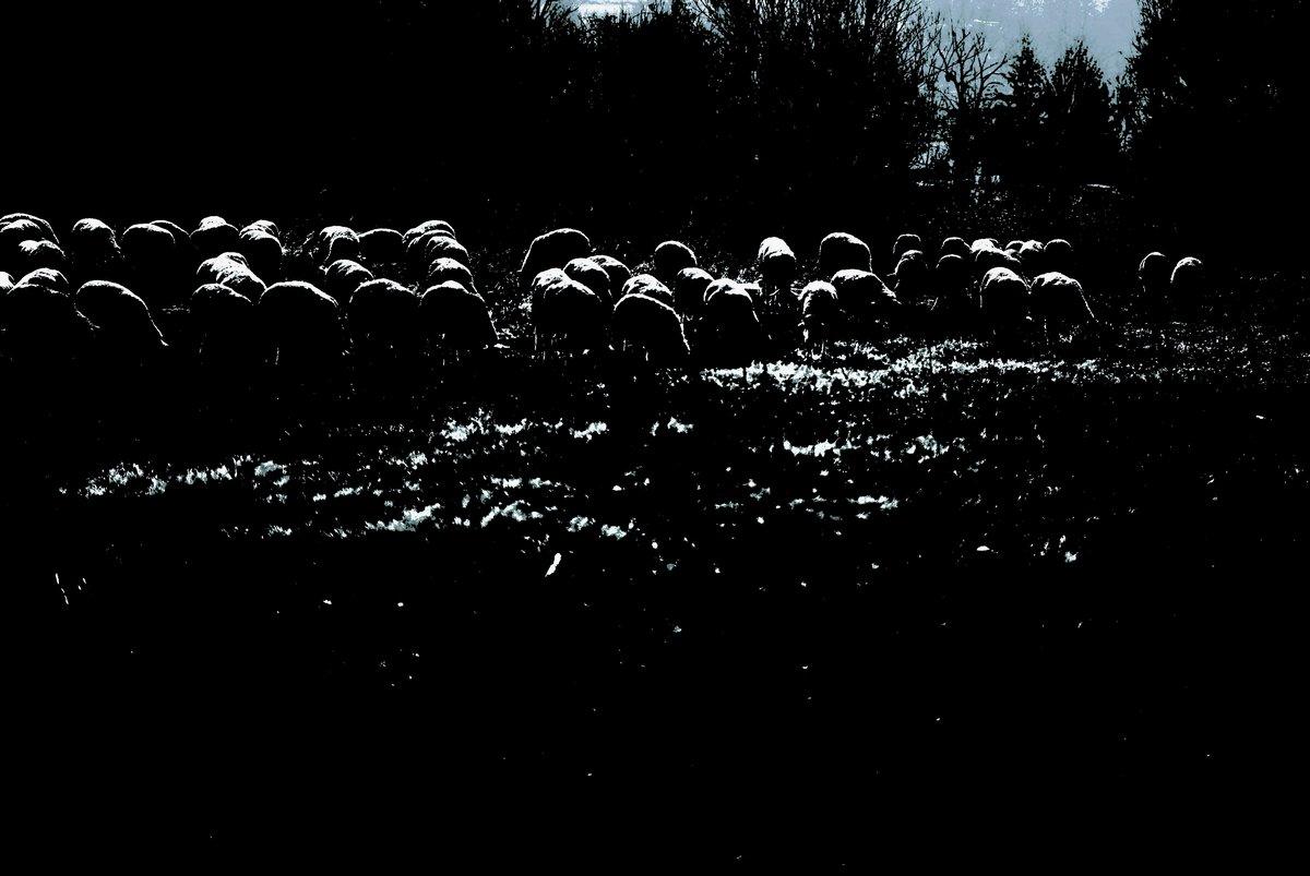 A bárányok - fotográfia - Melega István