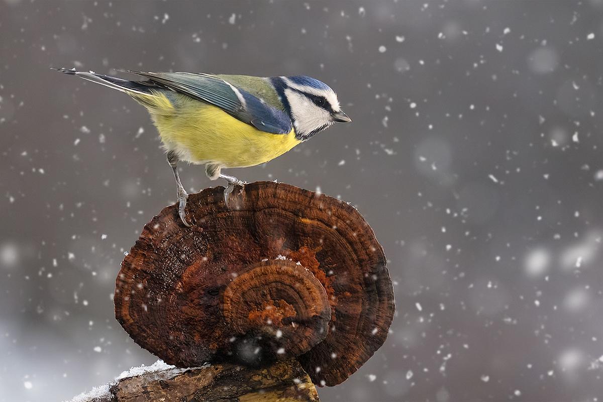 Kékcinege - természetfotó - Szabó Zsolt